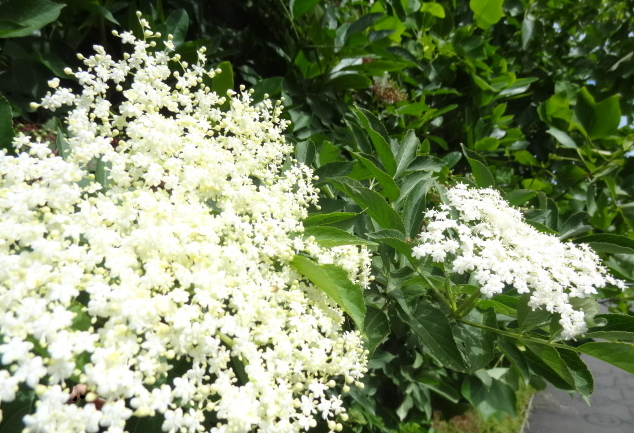 Elderflower in full bloom