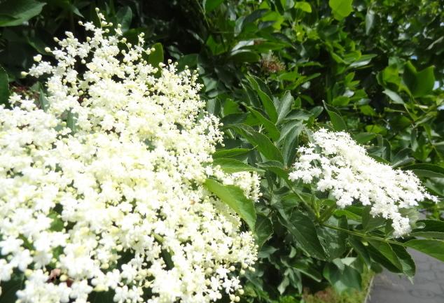 Elderflower in full bloom
